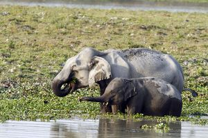 Indian Elephant - & young - feeding in the river Brahamputra