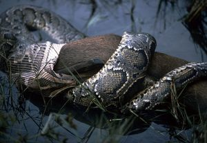Indian Python - with Hog Deer prey