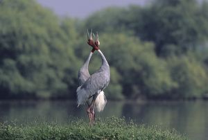 Indian Sarus Crane giving unison call.