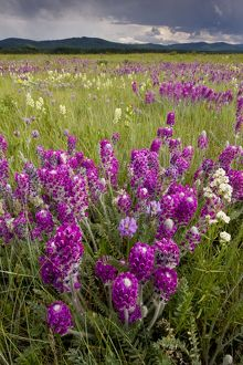 Intensely flowery mid-altitude prairie grassland, with Showy locoweed and Mountain