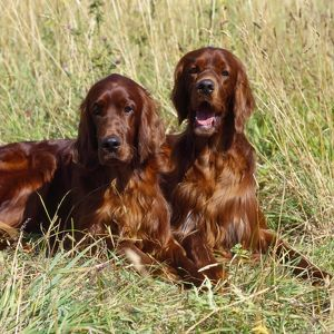 Irish / Red Setter Dog - x2