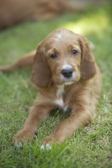 Irish / Red Setter - puppy lying down