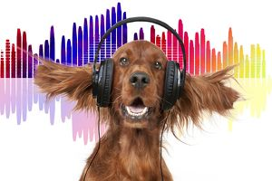 Irish Setter dog listening to music wearing headphones