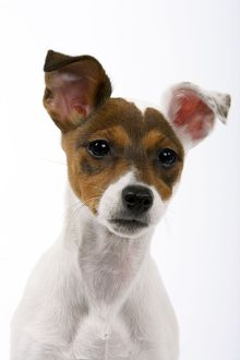 Jack Russell Dog - puppy (4 months)