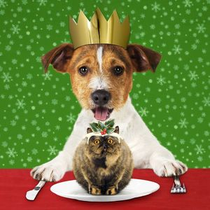 Jack Russell Terrier dog with Christmas pudding and hat