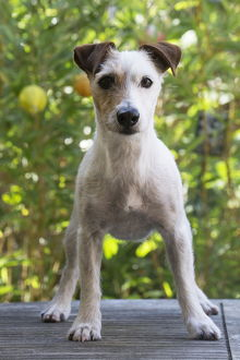 Jack Russell Terrier Dog outdoors