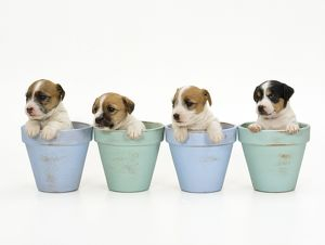 Jack Russell Terrier Dog - puppies in flowerpots
