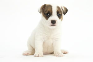 Jack Russell Terrier Dog, puppy