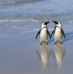 Jackass Penguin - pair holding hands
