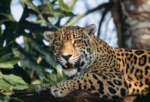 JAGUAR - side view, sitting in a tree, close up