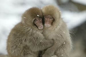Japanese Macaque Monkey - two huddled together.