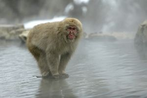 Japanese Macaque Monkey - standing on rock in middle of hot springs.