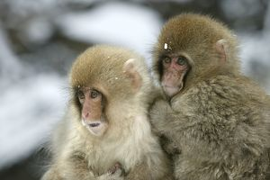 Japanese Macaque Monkey - two young