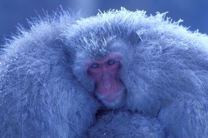 Japanese Macaque / Snow Monkey - Huddling for warmth