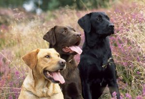 JD-11506E DOG - Yellow, Chocolate and Black Labradors