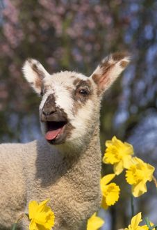 JD-15059E LAMB IN DAFFODILS - Bleating