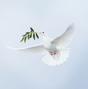 JD-15558-M Dove - in flight carrying olive branch in beak peace