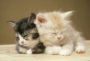 JD-1593-M Cat - Two Kittens asleep