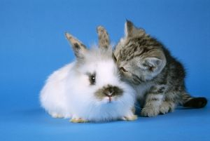 JD-16345 CAT - Tabby Kitten and rabbit