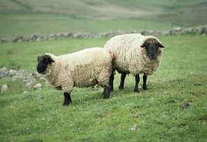 JD-1644 SUFFOLK SHEEP - PAIR