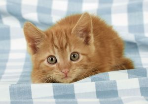 JD-20177-M-C Ginger Kitten on blue gingham