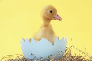 JD-20190 Duckling in large egg shell