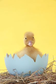 JD-20212 Duckling - in large egg shell