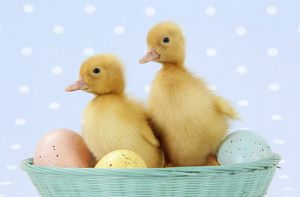 JD-20217-M-C Ducklings - in basket with coloured eggs
