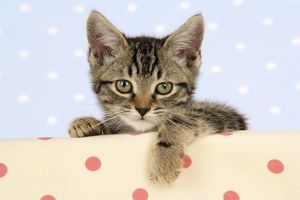 JD-20305-M Cat - tabby kitten wearing Christmas hat