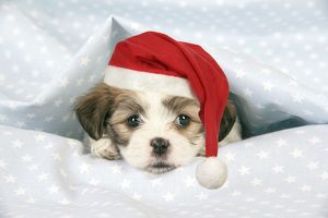 JD-20473-M Dog. Teddy bear puppy under blanket with Christmas hat