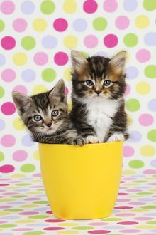 JD-20575 Cat. Kittens (7 weeks old) sitting in cup