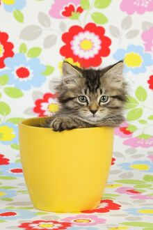 JD-20579 Cat. Kitten (7 weeks old) in plant pot