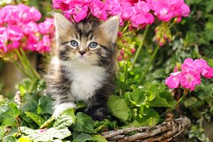JD-20589 Cat. Kitten (7 weeks old) sitting amongst pink plants