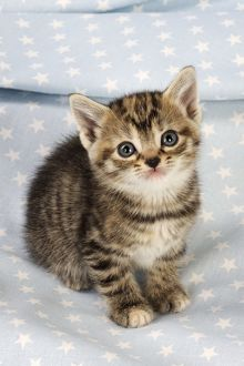 JD-20603-C Cat. Tabby Kitten (6 weeks old) on star background