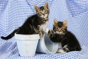 JD-20665-C Cat. Kittens in plant pots