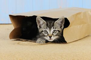 JD-20683 Cat. Kitten in paper bag