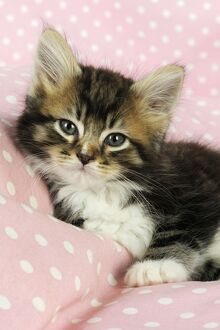 JD-20704 Cat - Kitten on pink background