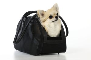 JD-20807 Chihuahua Dog - in carry bag