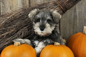 JD-20989-C DOG. Schnauzer puppy sitting in leaves with broom and pumpkins