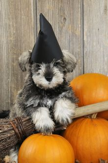 JD-20992 DOG. Schnauzer puppy looking over broom wearing witches hat