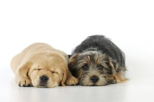 JD-21012 DOG. Yellow labrador puppy lying next to norfolk terrier puppy