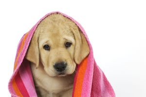JD-21086 DOG. Labrador (8 week old pup) with towel