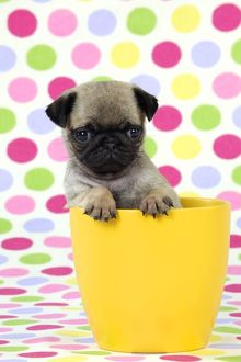 JD-21149 DOG. Pug puppy ( 6 wks old ) in a yellow pot