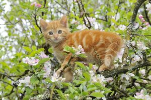JD-21181 KITTEN. (ginger) in an apple tree
