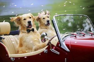 JD-21386-M Golden Retriever Dog - wedding couple in car with confetti