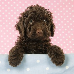 JD-21390-M-C Spanish water dog puppy looking over shelf