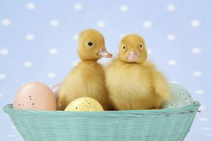 JD-21392-M Ducklings, in basket with coloured eggs