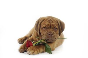 JD-21422 DOG. Dogue de bordeaux puppy lying down holding a rose