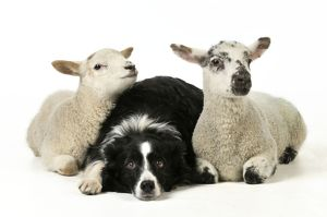 JD-21546 DOG & LAMB. Border collie sitting between two cross breed lambs