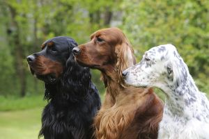 JD-21614 DOG. Irish setter sitting between gordon setter and english setter (head shot)